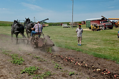 Harvesting Potatoes with Horses